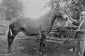 A winning Missouri Mule