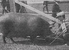 An Essex Sow